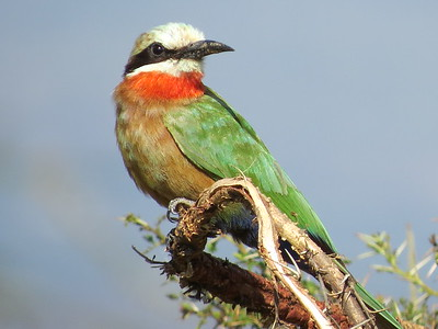 White-fronted Bee-eater, (Merops bullockoides)