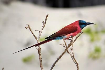 Carmine Bee-eater, (Merops nubicus)