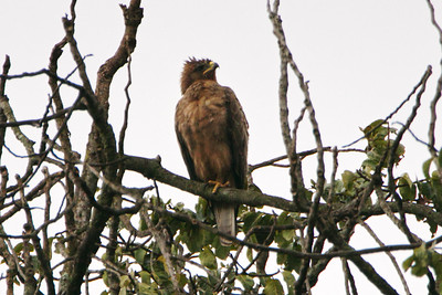 Wahlberg's Eagle (Hieraaetus wahlbergi)