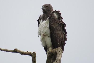 Martial Eagle (Polemaetus bellcosus)