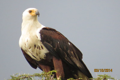African Fish-Eagle (Haliaeetus vocifer)
