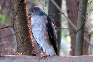Little Sparrowhawk (Accipiter minullus)