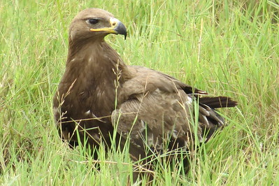 Steppe Eagle (Aquilla nipalensis)