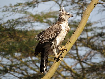 Crowned Eagle (Stephanoaetues coronatus)