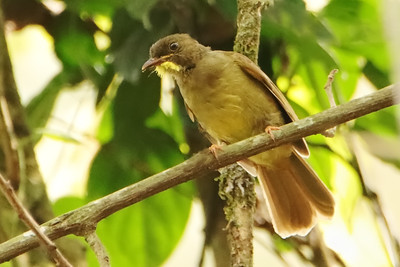 Yellow-whiskered Greenbul (Eurillas latirostris)
