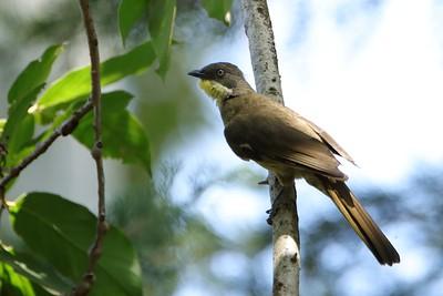 Yellow-throated Leaflove (Atimastillas flavicollis)