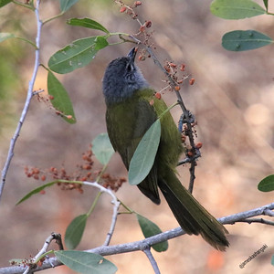 Eastern Mountain Greenbul (Arizelocichla nigriceps)