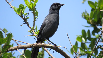 Slate-coloured Boubou (Laniarius funebris)