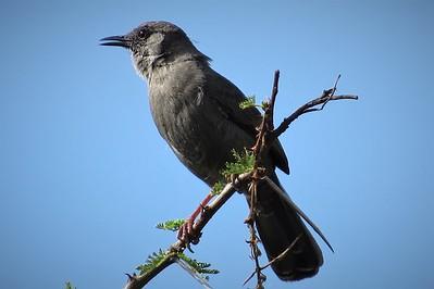 Grey Wren-warbler (Calamonastes simplex)