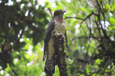 Red-chested Cuckoo (Cuculus solitarius)