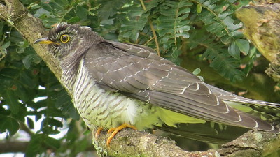 African Cuckoo (Cuculus gularis)
