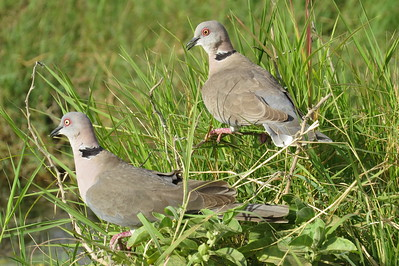 Collared Mourning Dove ( Streptopelia decipiens)