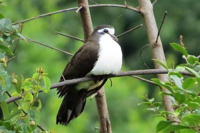 Tambourine Dove (Turtur tympanistria)
