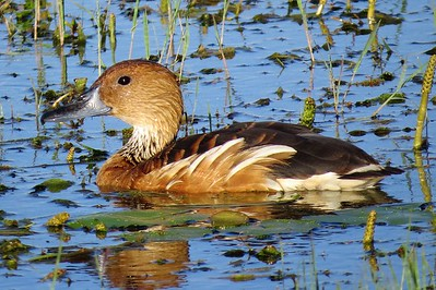 Fulvous Whistling-duck (Dendrocygna bicolor)