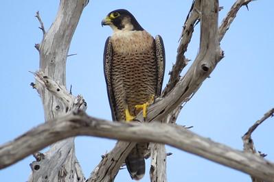 Peregrine Falcon, (Falco peregrinus)