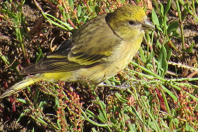Yellow-crowned Canary (Serinus flavivertex)