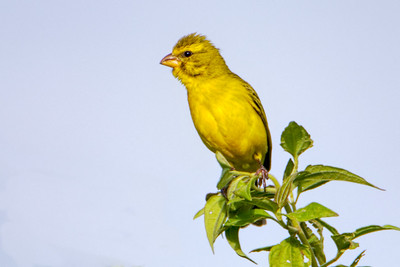 Yellow-fronted Canary (Crithagra mozambica)