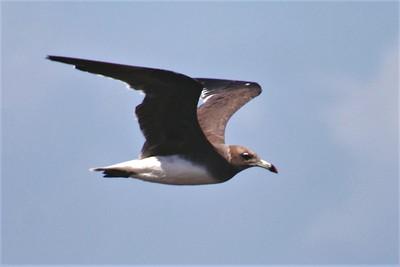 Sooty Gull (Ichthyaetus hemprichii)