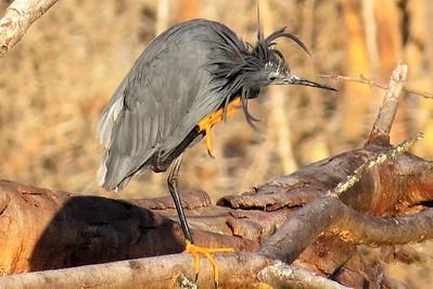 Black Heron (Egretta ardesiaca)