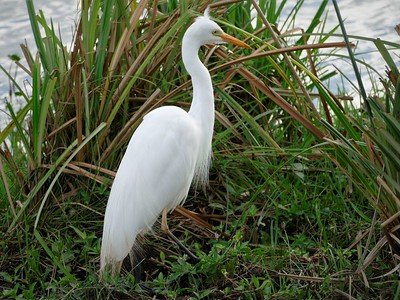 Yellow-billed Egret  (Ardea brachyrhyncha)