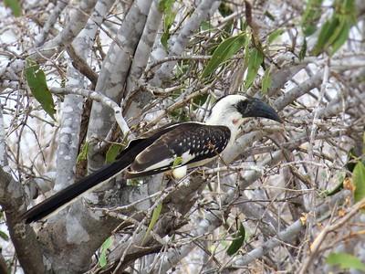 Jackson's Hornbill (Tockus jacksoni)