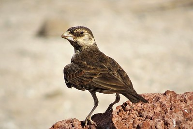 Chestnut-backed Sparrow-lark (Eremopterix leucotis)