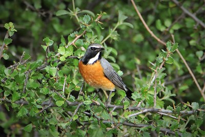 Bird perched in a bush, Samburu National Reserve, Samburu, Kenya
