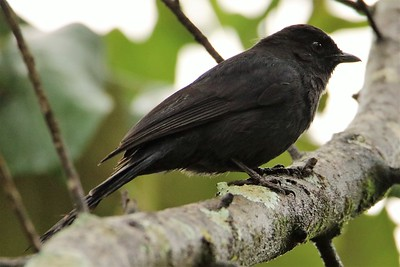 Northern Black-flycatcher (Melaenornis edolioides)