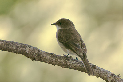 Swamp Flycatcher (Muscicapa aquatica)
