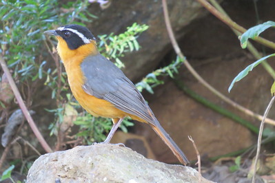 Rupell's Robin-chat (Cossypha semirufa)