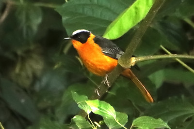 Snowy-headed Robin Chat (Cossypha niveicapilla)