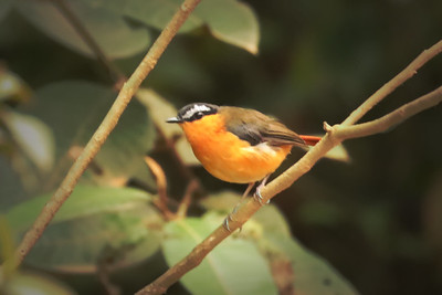 Grey-winged Robin-chat (Cossypha polioptera)