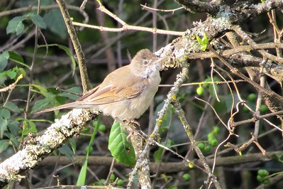 Greater Whitethroat (Sylvia communis)