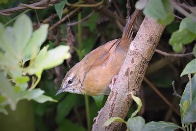 Cinnamon Bracken Warbler (Bradypterus cinnamomeus)