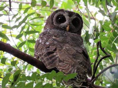 African Wood-owl (Strix woodfordii)