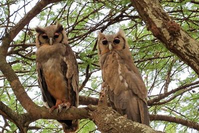 Verraux's Eagle Owl (Bubo Lacteus)
