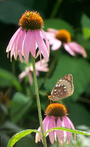 Daisy & Butterfly
