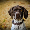 pointer with warm eyes
