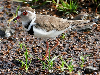African Three-banded plover (Charadrius tricollaris)