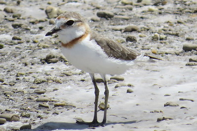 Chestnut-banded Plover (Charadrius pallidus)