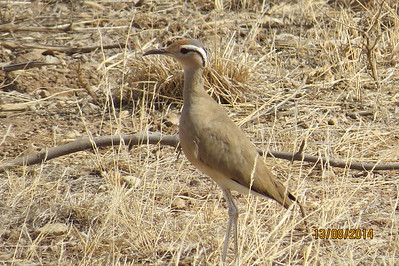 Somali Courser (Cursorius somalensis)