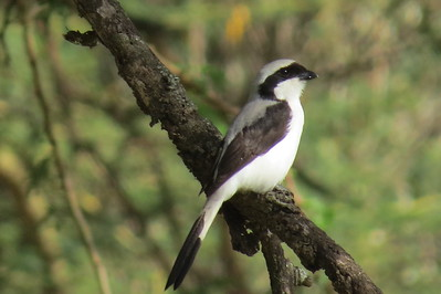 Grey-backed Fiscal (Lanius excubitorius)