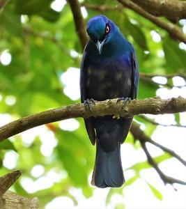 Black-bellied Starling (Notopholia corusca)