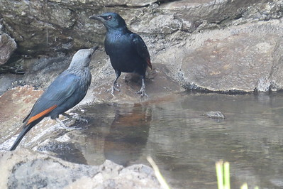 Red-winged Starling (Onychognatus morio)