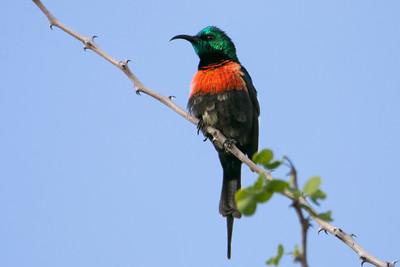 Black-bellied Sunbird (Cinnyris nectarinioides)