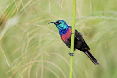 Red-chested Sunbird (Cinnyris erythrocercus)