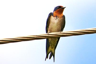 Angola Swallow (Hirundo angolensis)
