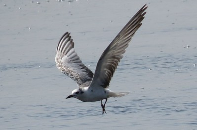 White-winged Tern (Childonias leucopterus)