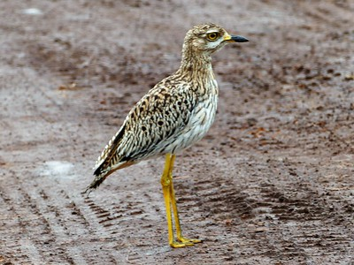 Spotted Dikkop or Spotted thick-knee (Burhinus capensis)