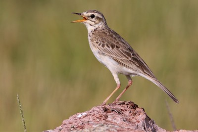 African Pipit (Anthus cinnamomeu)